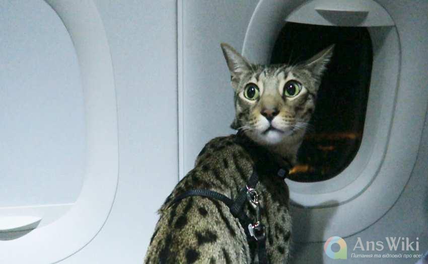 Що потрібно для поїздки з кішкою за кордон?