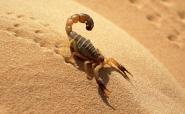Скорпіон - це павук?