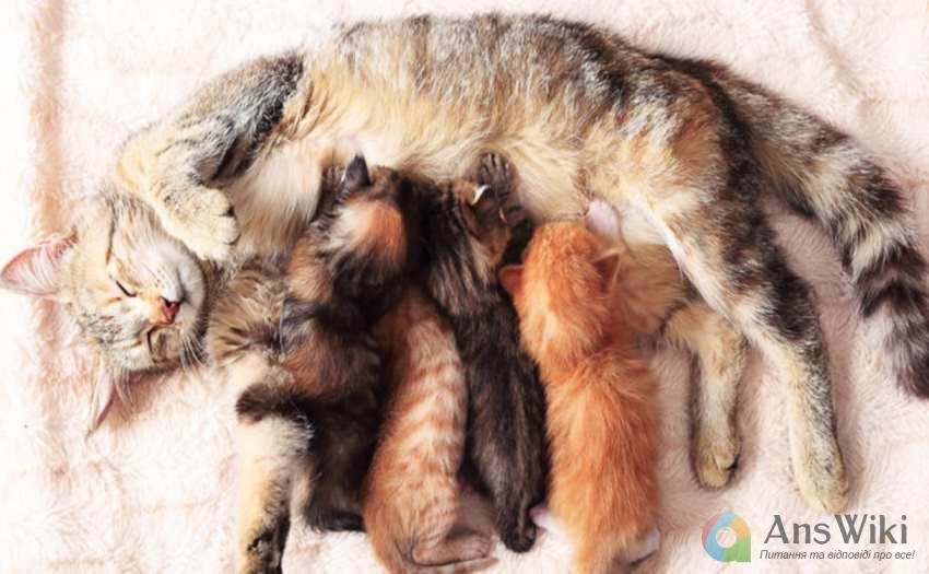 кошенята ссуть молоко