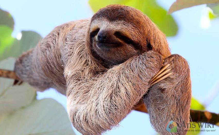 Чому лінивці такі повільні?