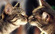 Коли кішка починає гуляти (просити кота)?
